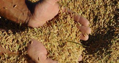 O que esperar na comercialização da nova safra gaúcha de arroz